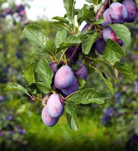 Wild damson plums