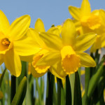 Easter-week-Dublin-Organic-food-Daffodils