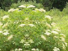 Elderflower for flavour