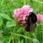 bee-clover
