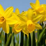 Easter-week-Dublin-Organic-food-Daffodils