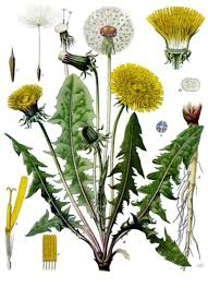 Dandelions for flavour and health